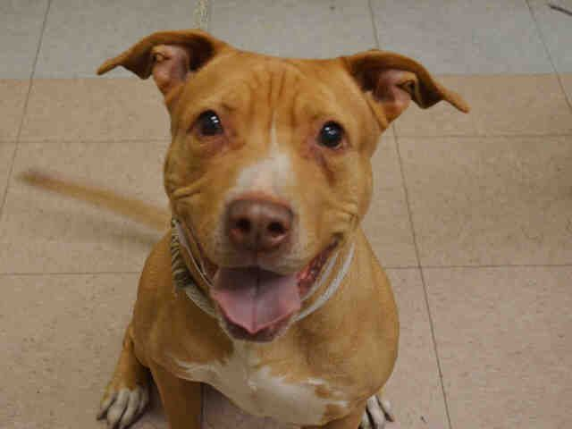 SAFE 5-9-2015  by Amsterdog Animal Rescue --- SUPER URGENT HAZEL  – A1035108  FEMALE, RED / WHITE, AM PIT BULL TER MIX, 8 yrs OWNER SUR – EVALUATE, NO HOLD Reason NO TIME Intake condition EXAM REQ Intake Date 05/02/2015