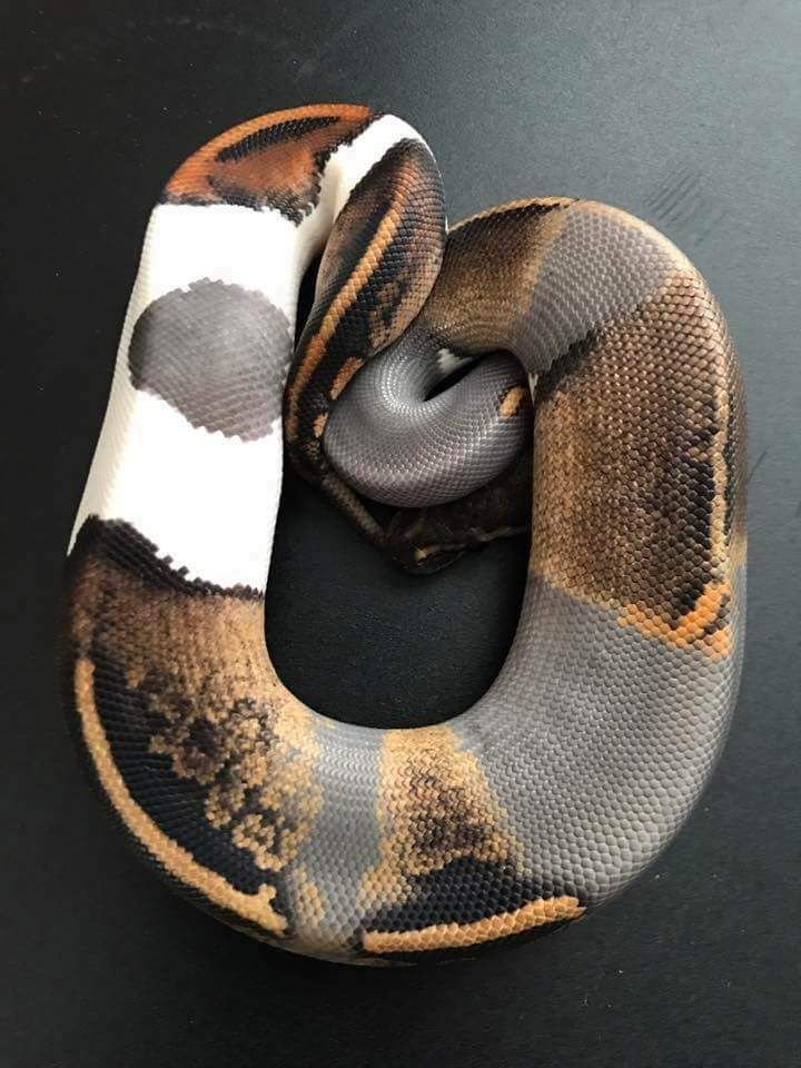 Paradoxed Black Pastel Fire Pied Snakesss Reptiles Ball Python