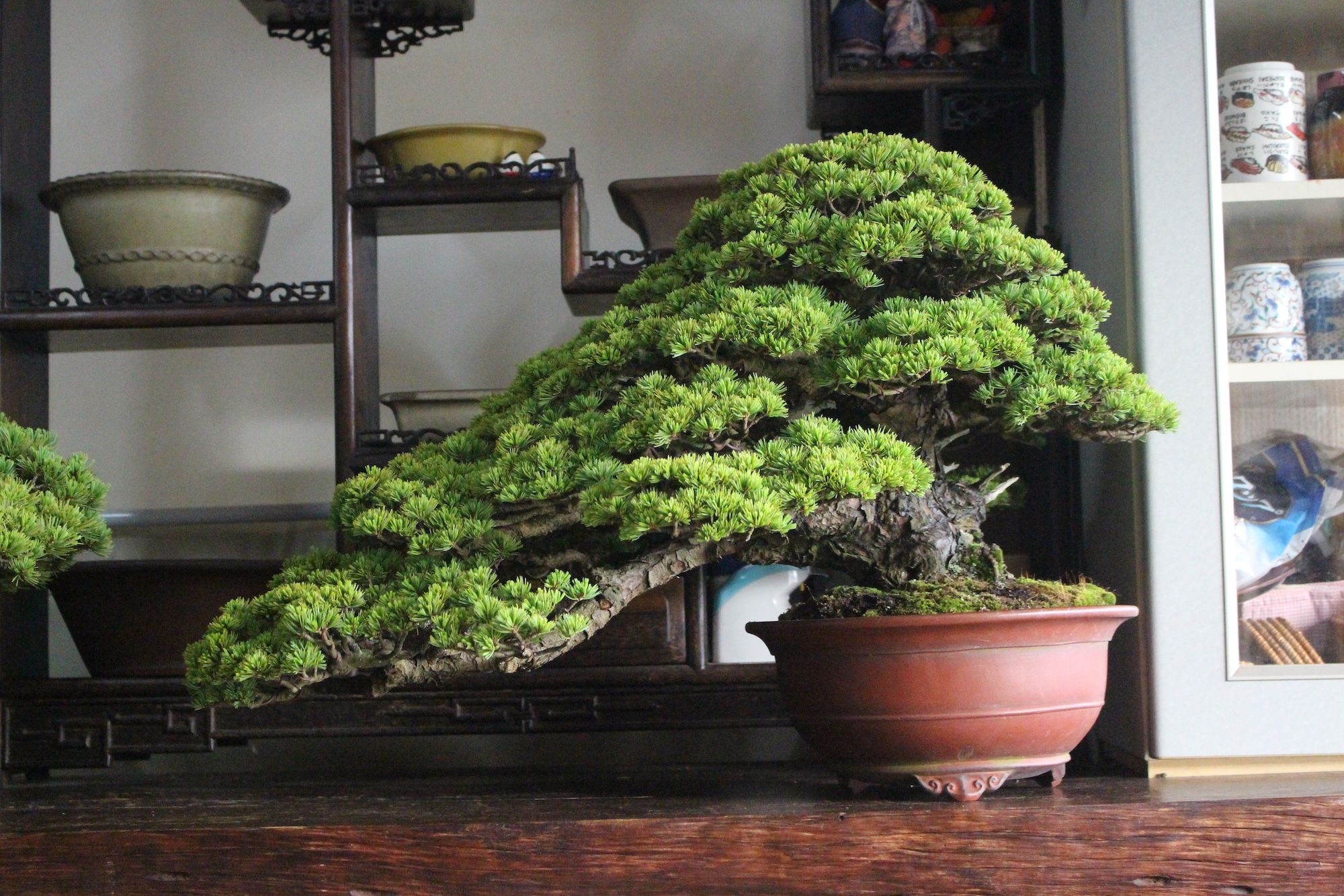 Growing and caring for a Bonsai tree #bonsaiplants