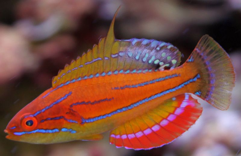 Yikes Treating A Mccosker S Wrasse With Gulp Velvet Click The Link To Follow This One Https Www Reef2ree Saltwater Fish Tanks Reef Safe Fish Marine Fish