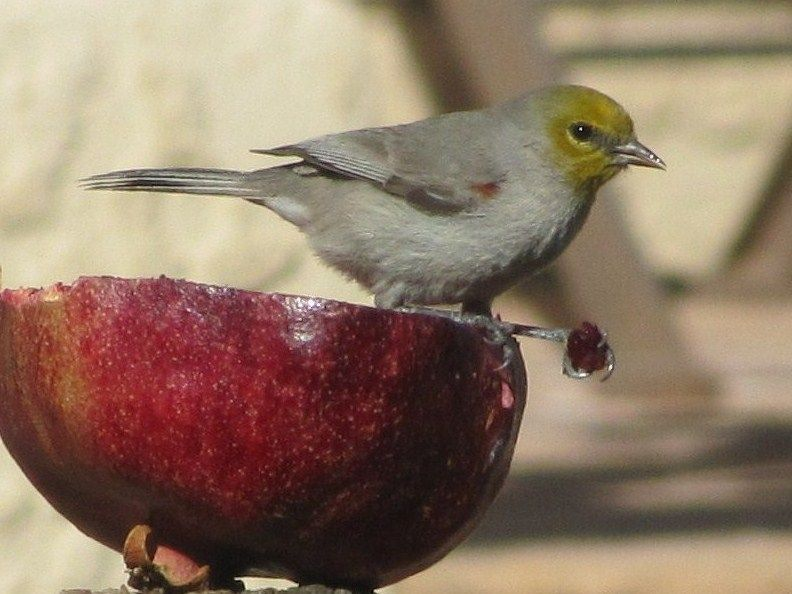 Verdin Nests | Pomegranates are a sure way to attract Verdins and many other birds ...