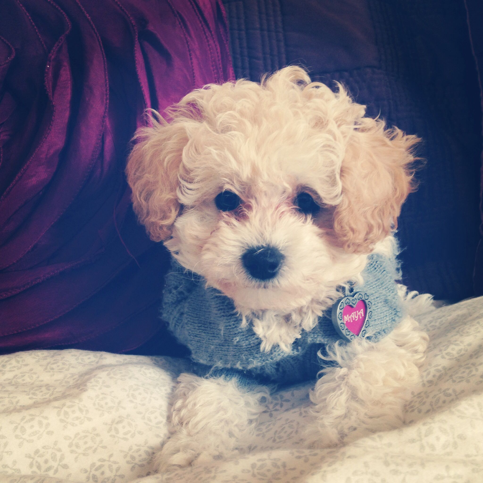 White Toy Poodle With Cream Ears With Images White Toy