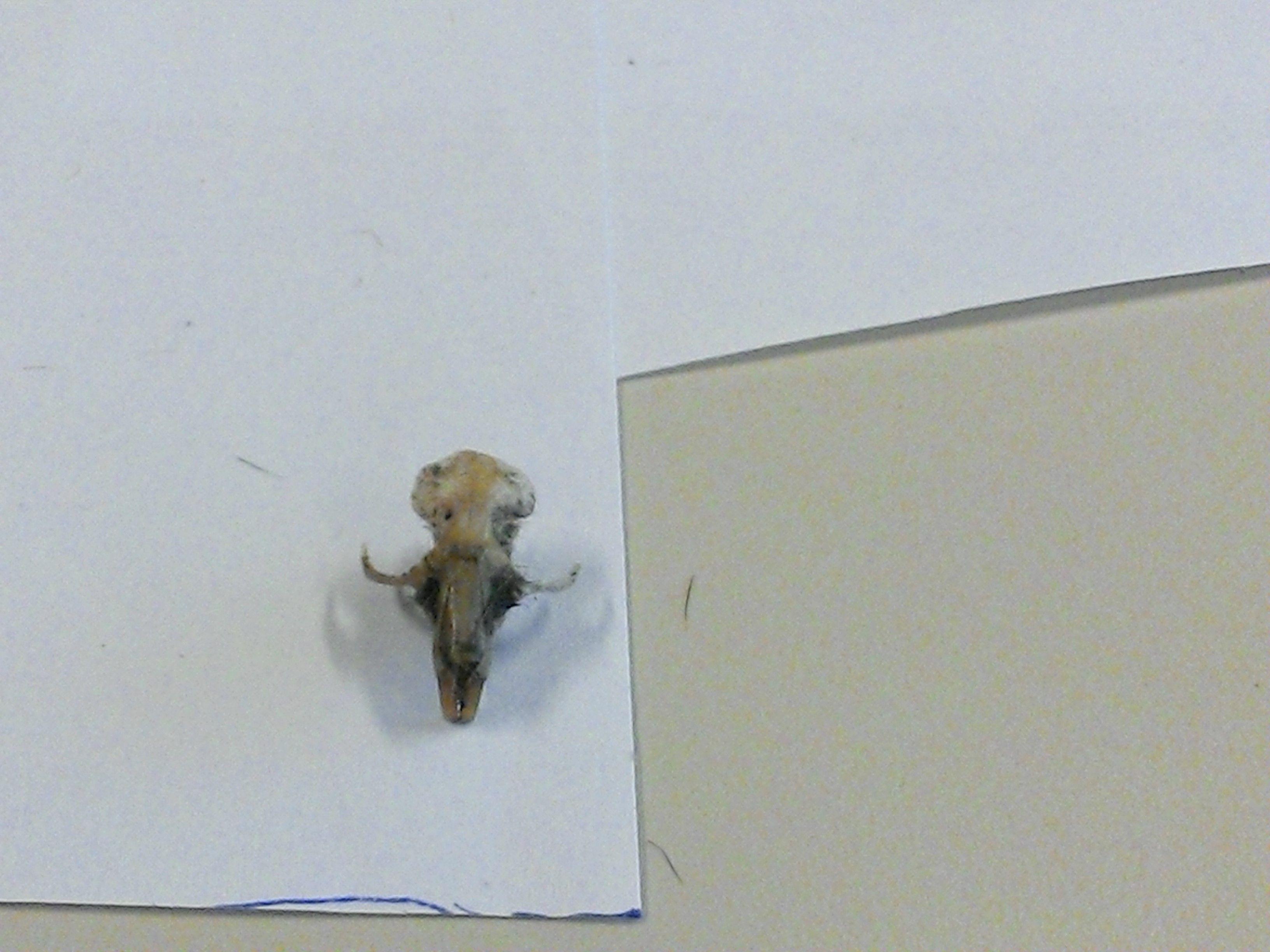 een schedel van een dwerg muis