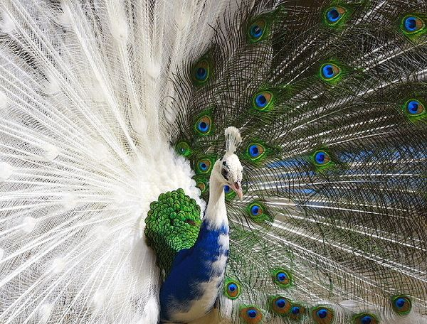 A partially leucanistic peacock. Leucanism is caused by a loss of melanin in the feathers.