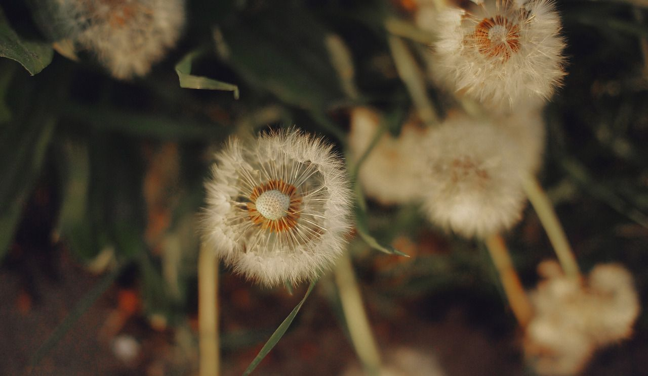 Dandelions By Daria Epicantus Its Free To Use Cc Click On Photo To See It In Full Size