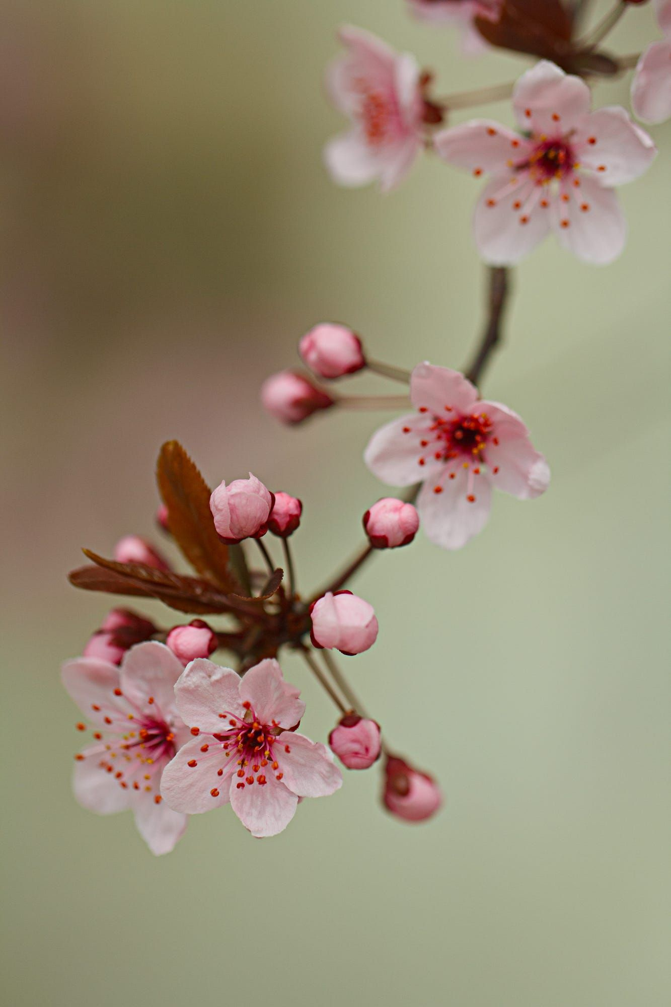 Cherry Blossom Trees To Dream Of Cherry Blossom Tree Represents Situations In Your Life That Are Perfe Cherry Blossom Tree Pink Blossom Tree Cherry Blossom Art