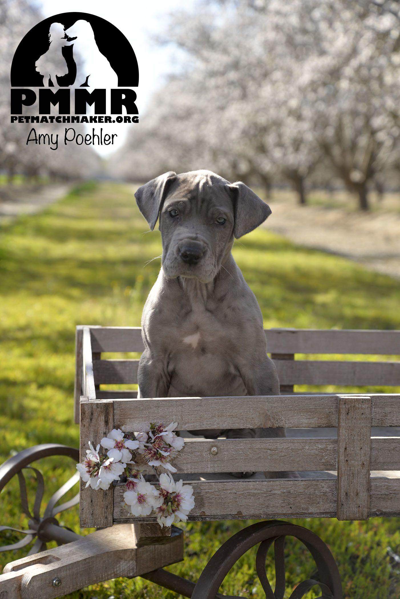 Adopt Amy Poehler on Great dane dogs, Dane dog, Pets