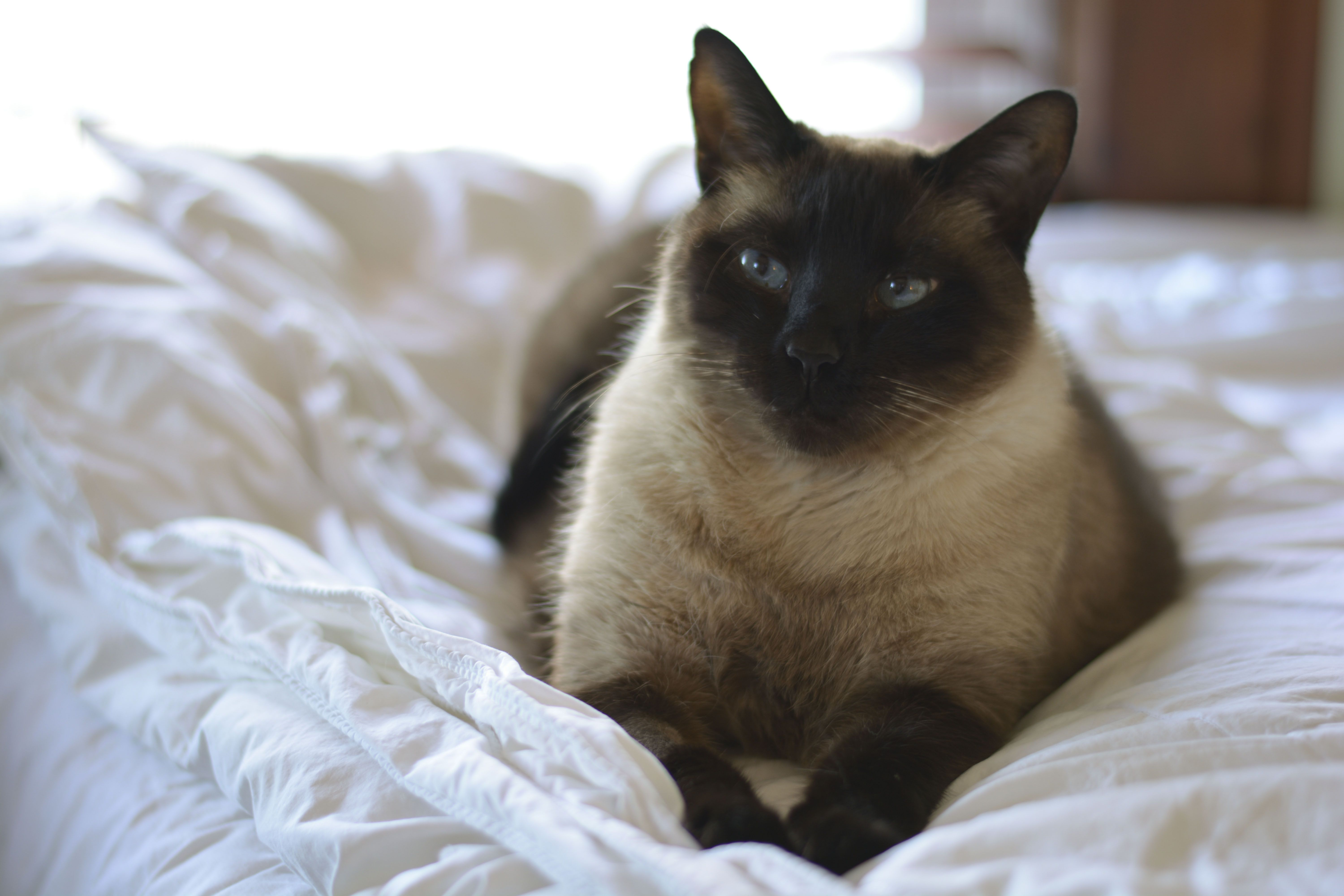 Siamese cat enjoying a peaceful day by the window