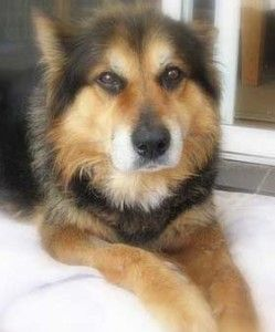Husky German Shepherd Mix Kiba Alaskan Husky Dogs