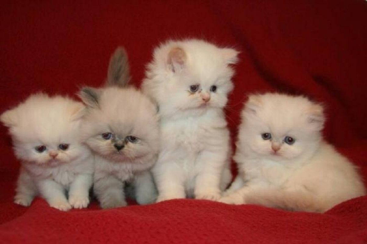 cute Persian kittens KITTY WORLD Pinterest