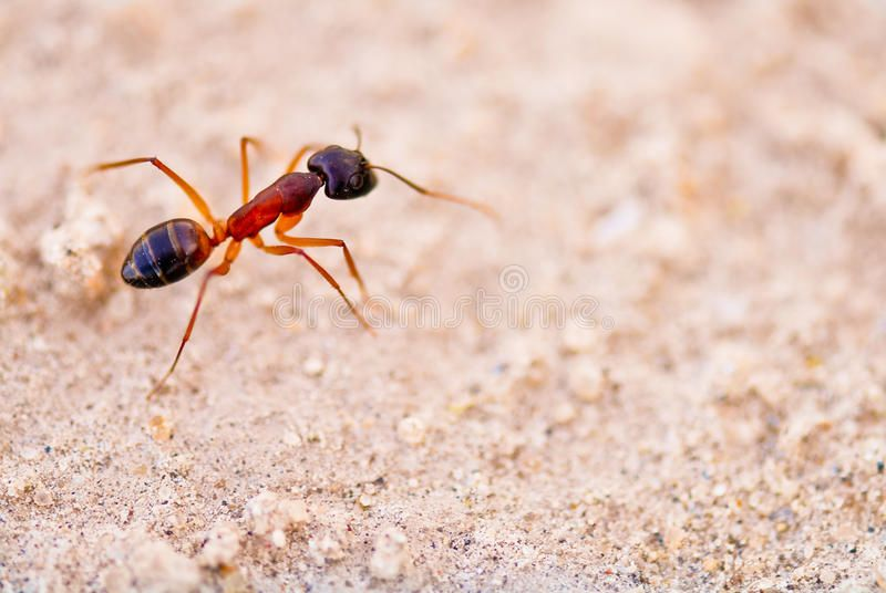 Ant A Close Up Of A Carpenter Ant Against Sand Sponsored