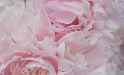 baby pink peonies... I'm in love