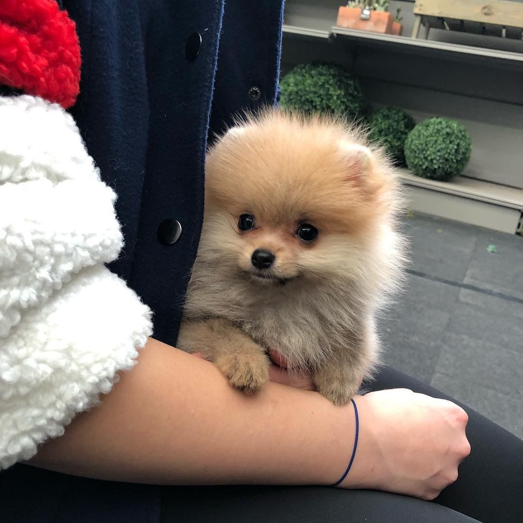 Pomeranian For Sale Pomerianian Puppies For Sale Near Me Cheap