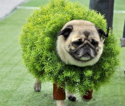 10 Photos Of Unimpressed Pugs In Costumes Pugs In Costume Pugs