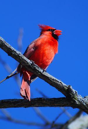 The Digiscoper: Red Birds