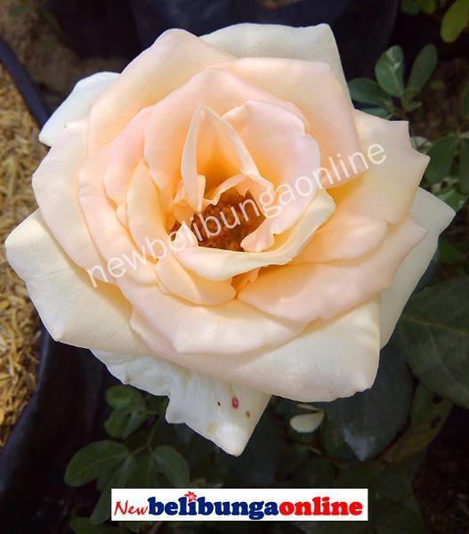 Pin Oleh Newbelibungaonline Di Tanaman Mawar Tanaman Dan Kebun