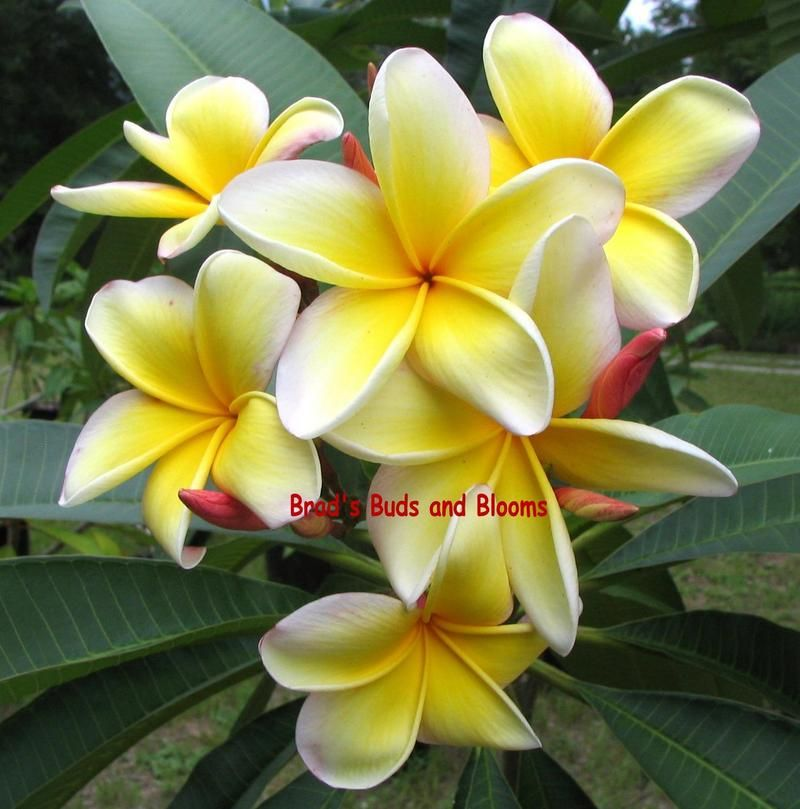 Aztec Gold One Of The Most Fragrant Of All Plumeria It Is Quite A Large Flower Many Times Approaching 4 Inches Scent Is Ripe Aztec Gold Plumeria Flowers