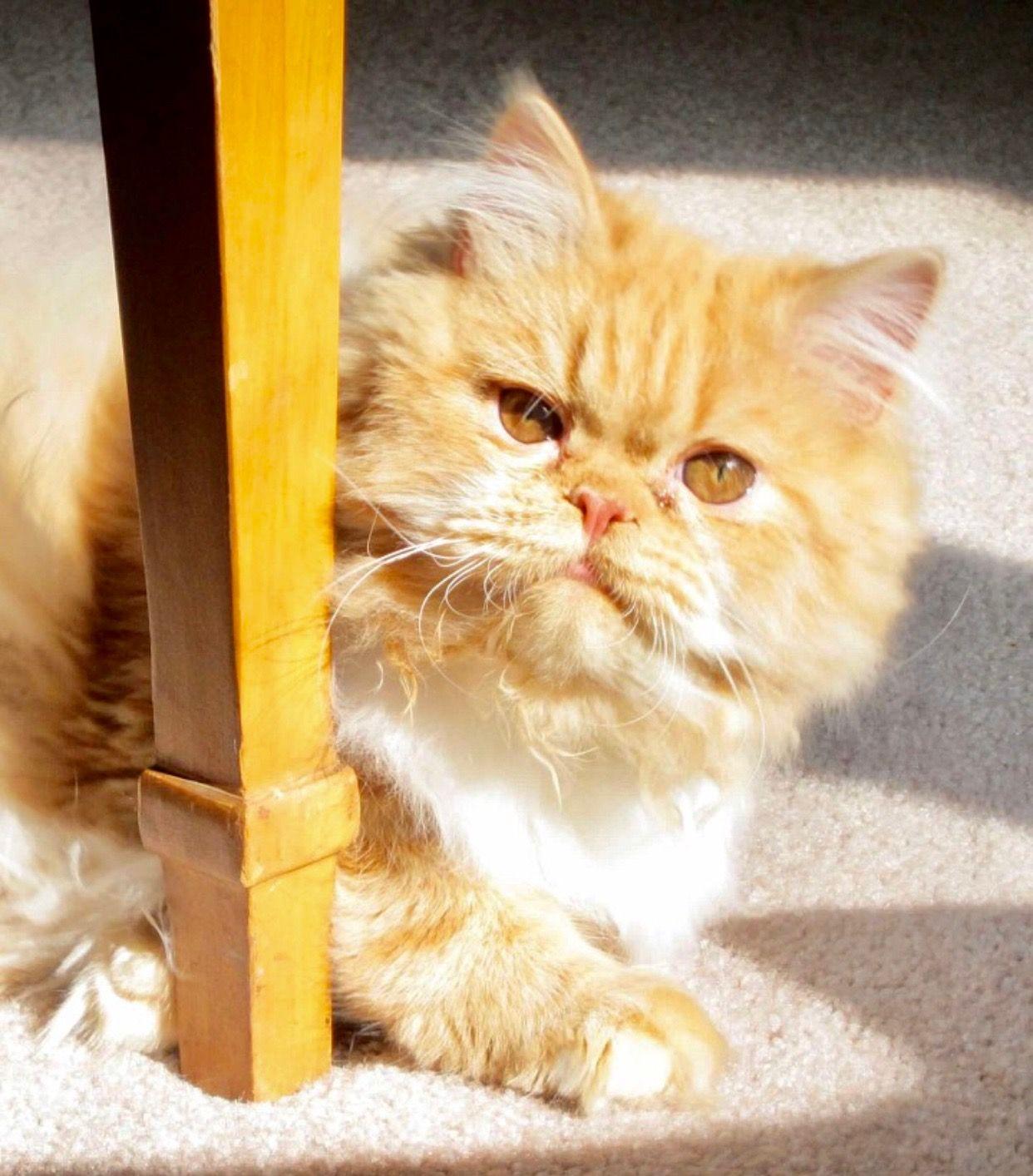 """Persian """"Beau"""" Natural cat, Beautiful cats, Cats"""