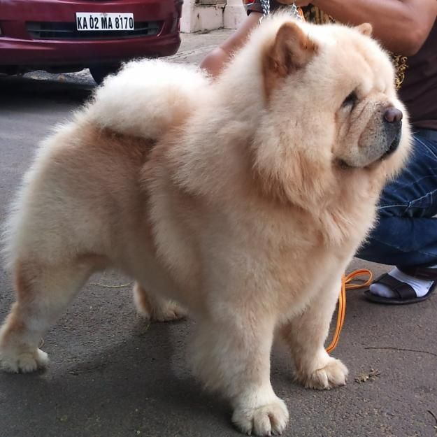1348651322 441560719 17 Chow Chow Puppies Are Available For Sale