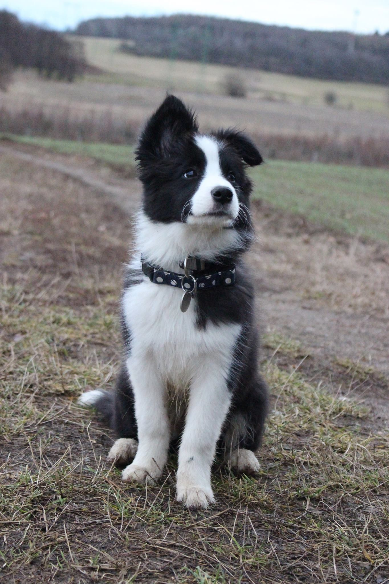 Awe A Sweet Little Border Collie Pupper Cute Dogs Breeds