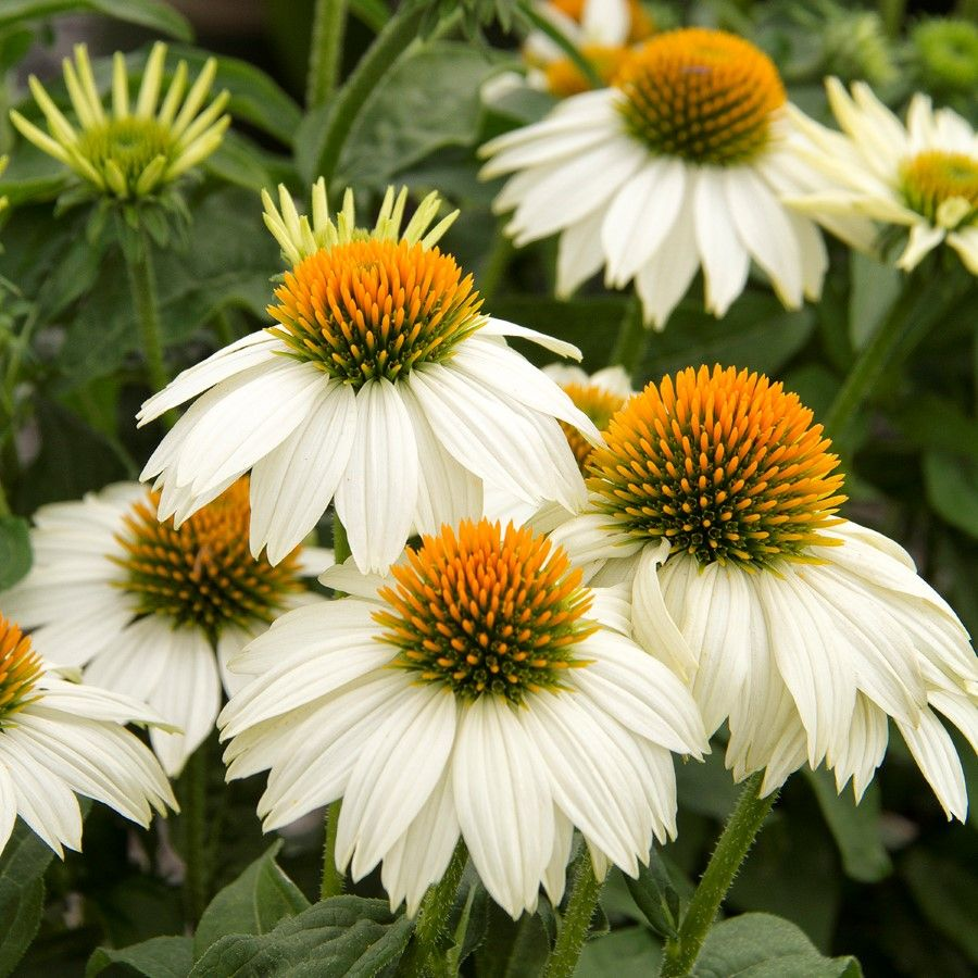 We Think Amado White Coneflower Is The Best White Coneflower Ever With 3 To 4 Stark White Flowers With Gr Sunflowers And Daisies Backyard Flowers Echinacea