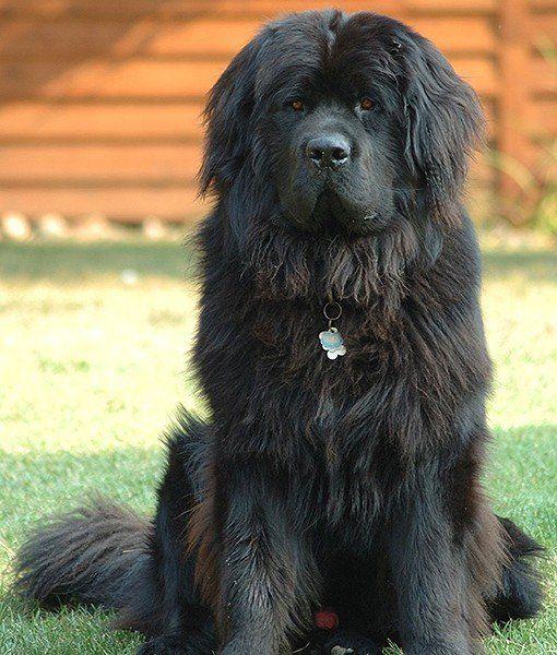 15 Quietest Dog Breeds Quiet Dog Breeds Dog Breeds Dog Training