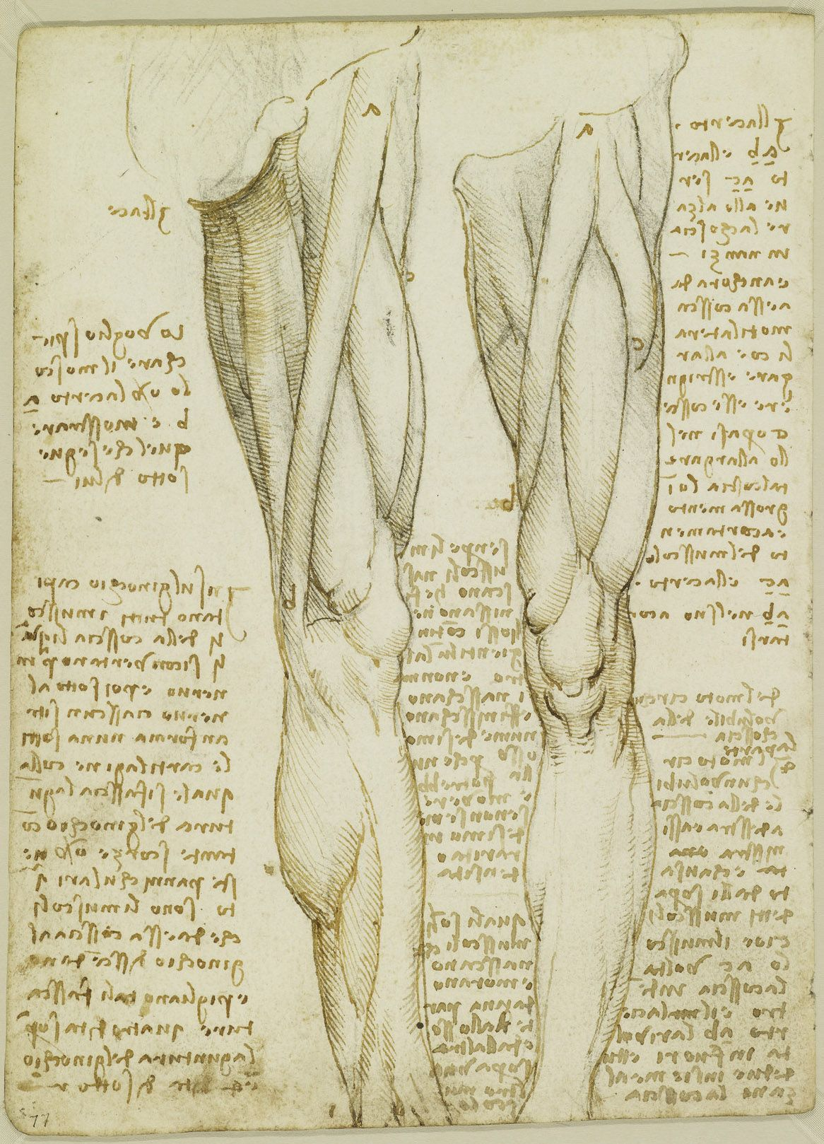 The Royal Collection: Recto: The muscles and nerves of the leg ...