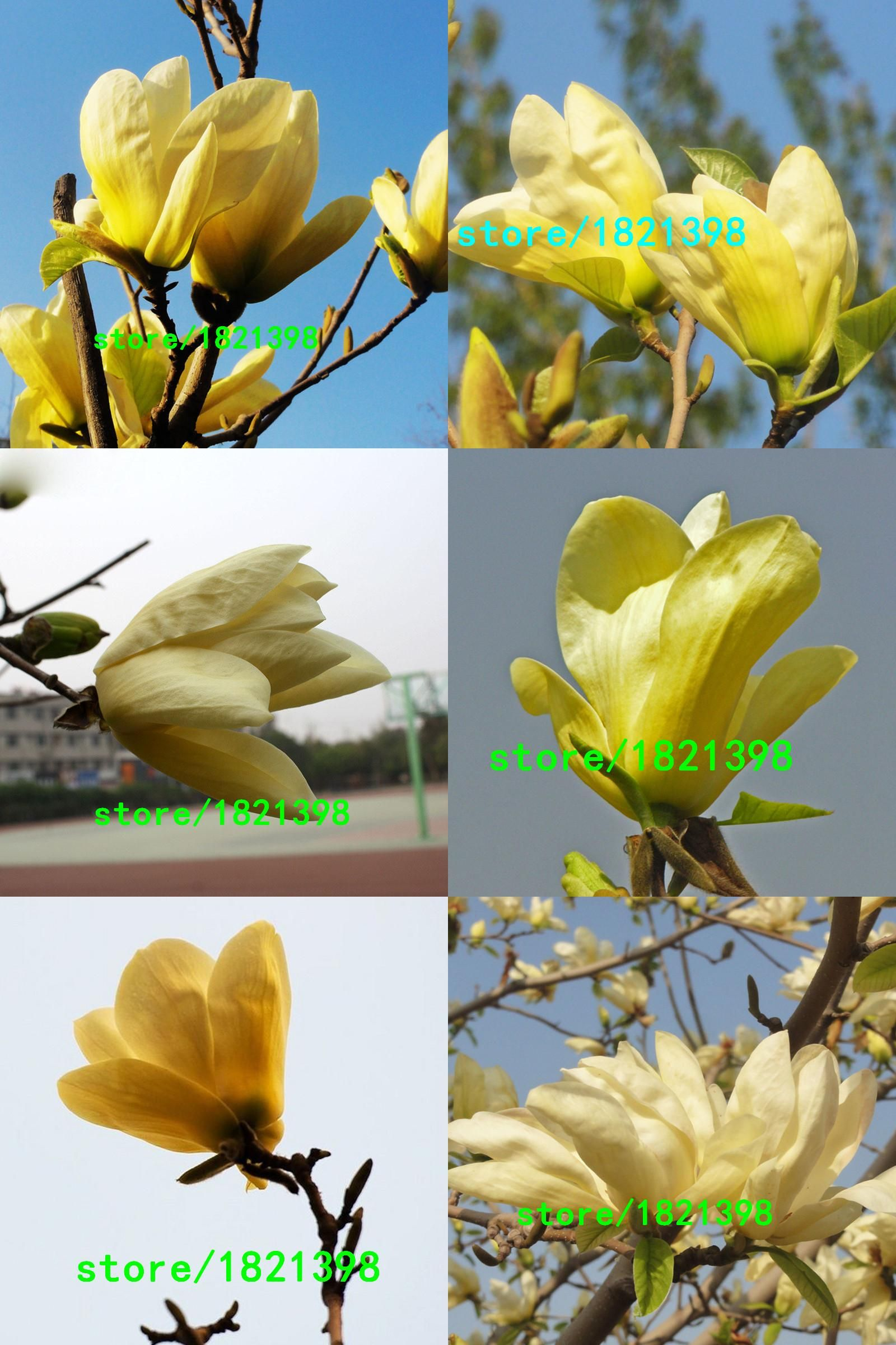 Visit To Buy Hot Sale Forest Seeds Yellow Magnolia Seeds