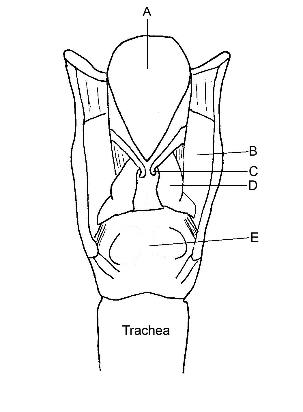 A = epiglottis; B = thyroid cartilage; C = corniculate
