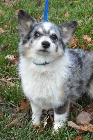 Tashi is a darling, 9-10 yr old,blue merle, miniature Australian Shepherd/Welsh corgi mix who is looking for a new home. She was viciously attacked by a big dog and is now terrified of other dogs, so she needs to go to a home with no other dogs. Tashi is small, weighing in at about 15-18 lbs, spayed, up to date on shots, and microchipped. http://www.doggielife.com/ONN7RC #corgi #dogs