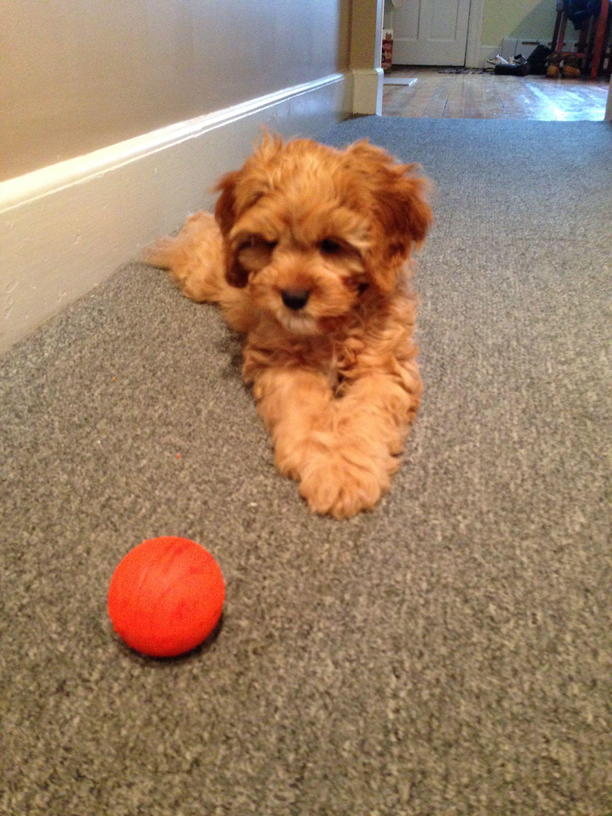 Pin By Cheryl Milnes On Too Cute Animals Cavapoo Puppies Cavapoo Puppies