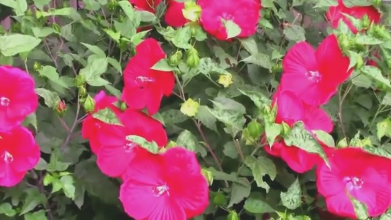 What Happens When You Top Hardy Hibiscus Pruning For More Flowers
