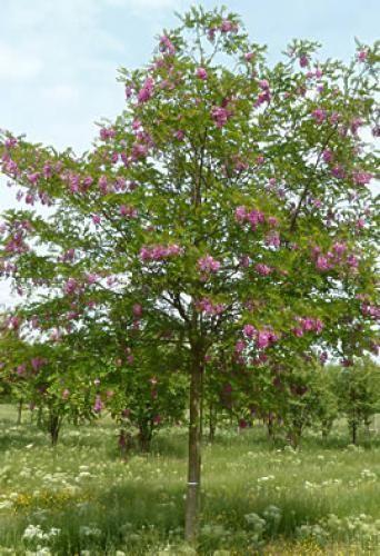 robinia hispida acacia rose kleine b ume pinterest kleine b ume und baum. Black Bedroom Furniture Sets. Home Design Ideas