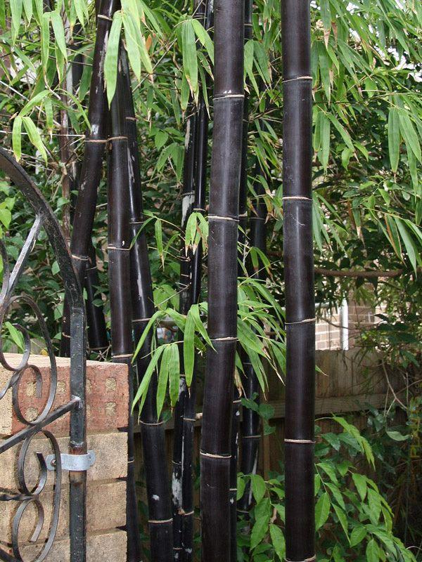 Xl Tropical Black Bamboo Bambusa Lako Timor Landscape Size 8 Pot