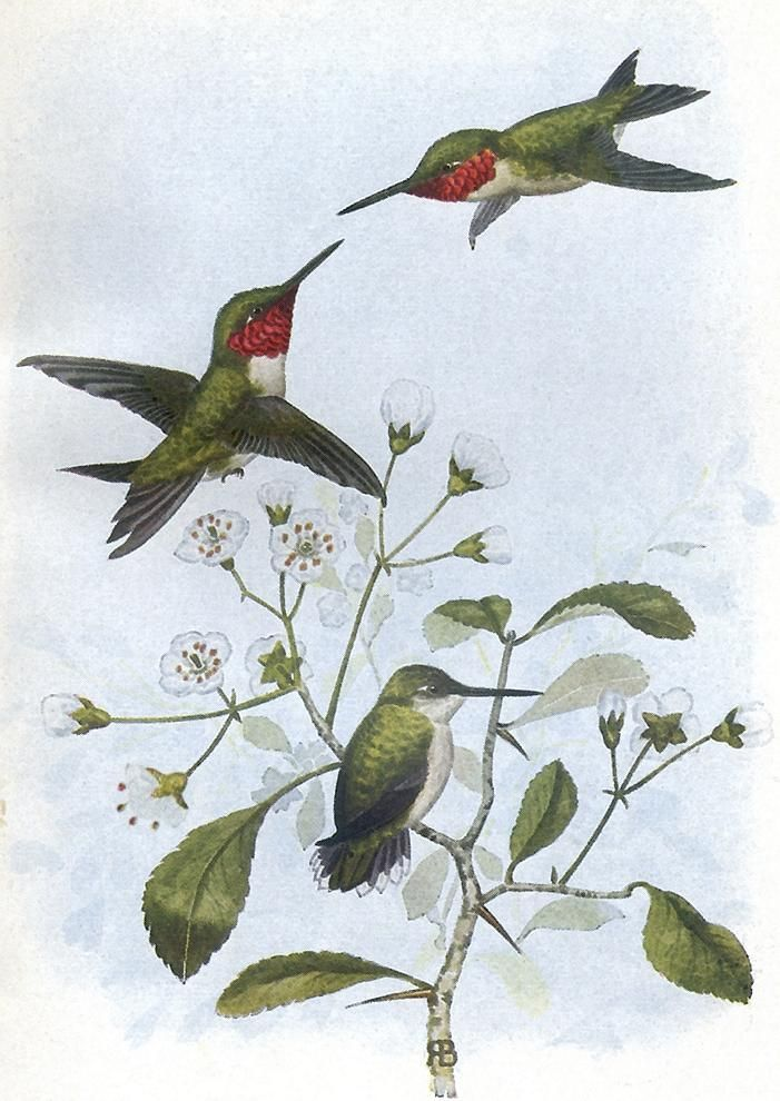 Ruby-throated Hummingbird, Rex Brasher | Art | Pinterest | Ruby ...