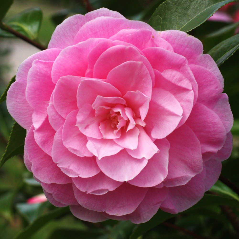Find Cornish Plants For Every Garden Plant A Zduchy Of Cornwall Nursery Beautiful Pink Flowers Plants Camellia Plant