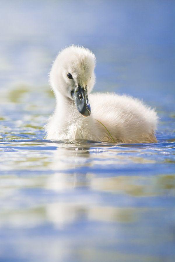 "magicalnaturetour: ""Swans baby by Zdenek Jakl """