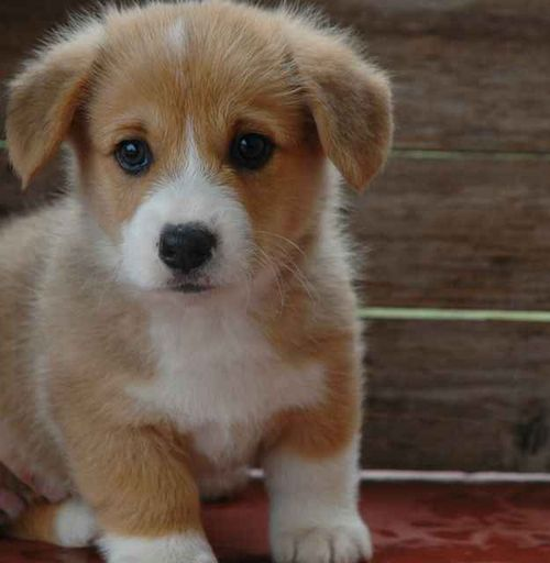 What is cuter in the world than a baby Corgi? Nothing!
