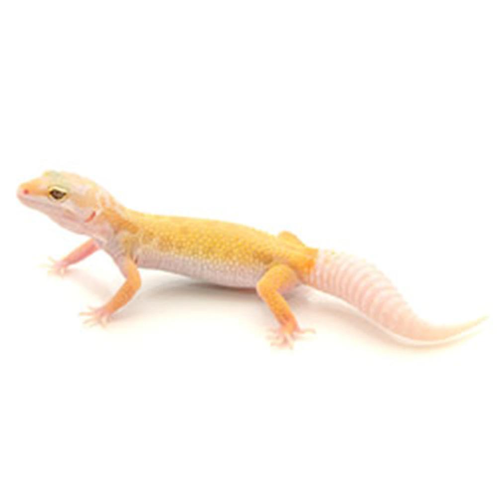 Albino Leucistic Leopard Gecko Eublepharis Macularius Juvenile Leopard Gecko Gecko 20 Gallon Long Aquarium