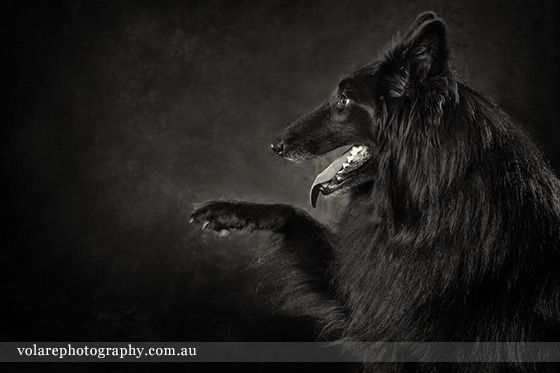 Pet Portraits Melbourne. Belgian Shepherd Black and White Dog Photography