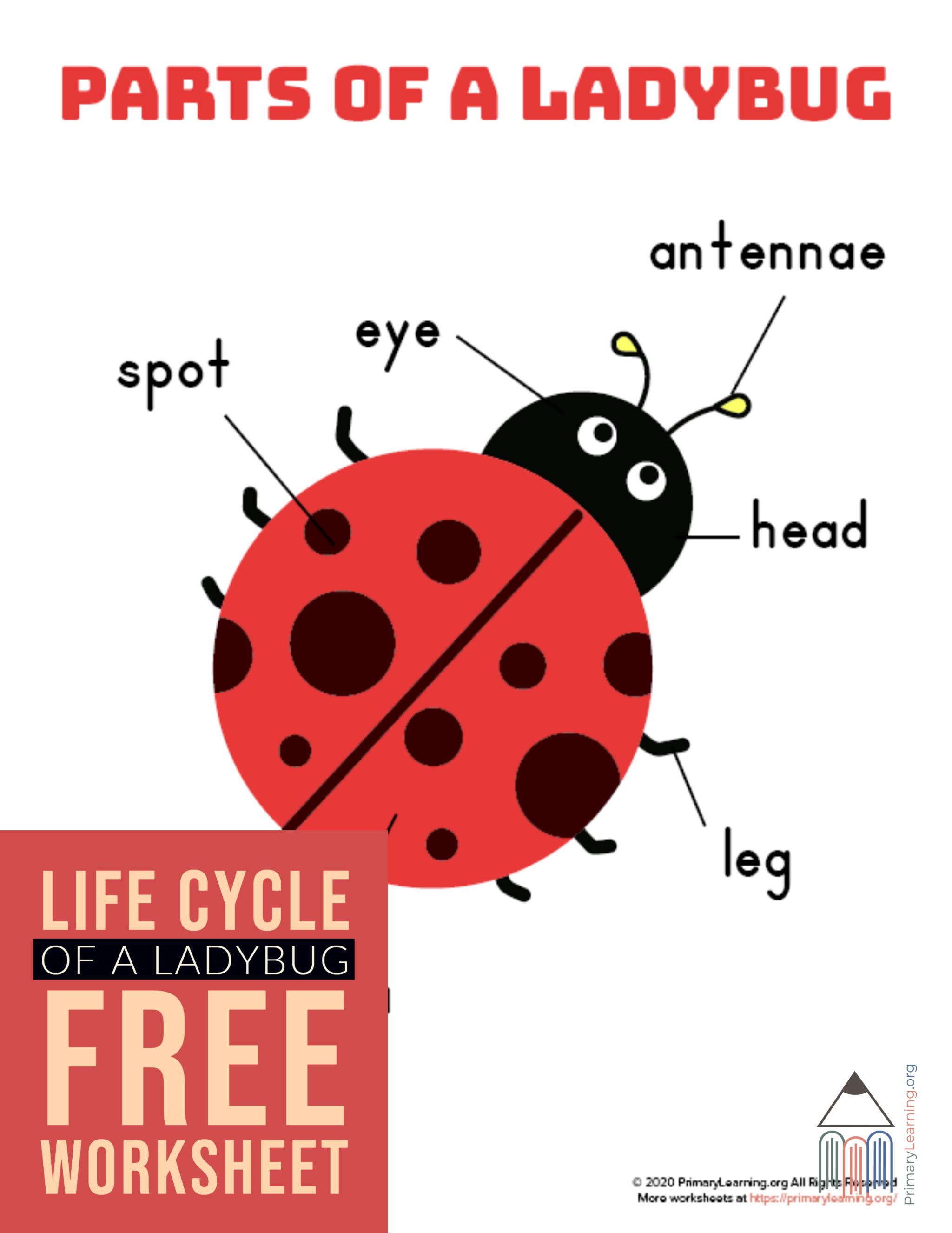 Ladybug Life Cycle Spinner