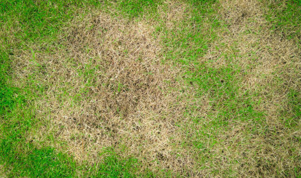 Rasen Uberdungt Anzeichen Erkennen Beheben Plantura Rasen Rasen Dungen Unkraut Im Rasen