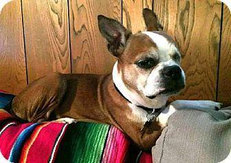 Pin By Kerri Fairclough On Adoptable Dogs Boston Buddies Boston