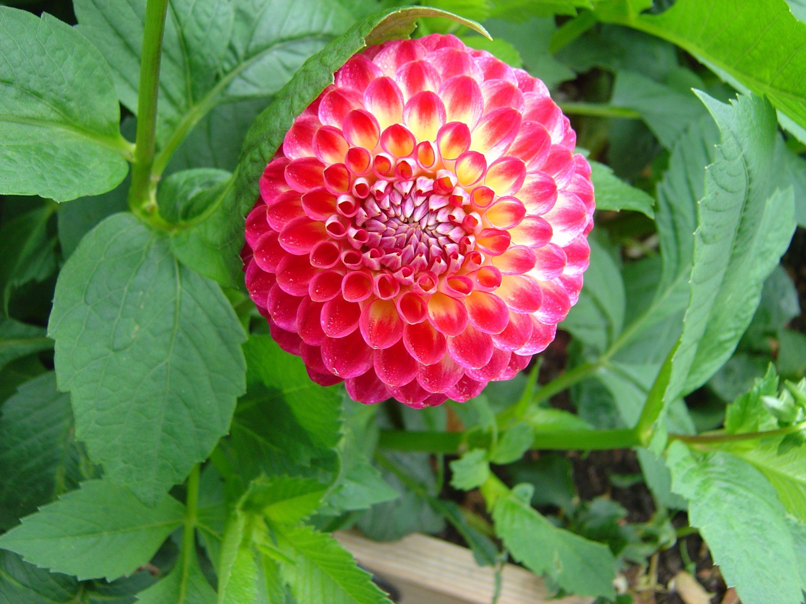 Crichton honey kenora fireball by ted marr gardening pinterest crichton honey kenora fireball by ted marr izmirmasajfo