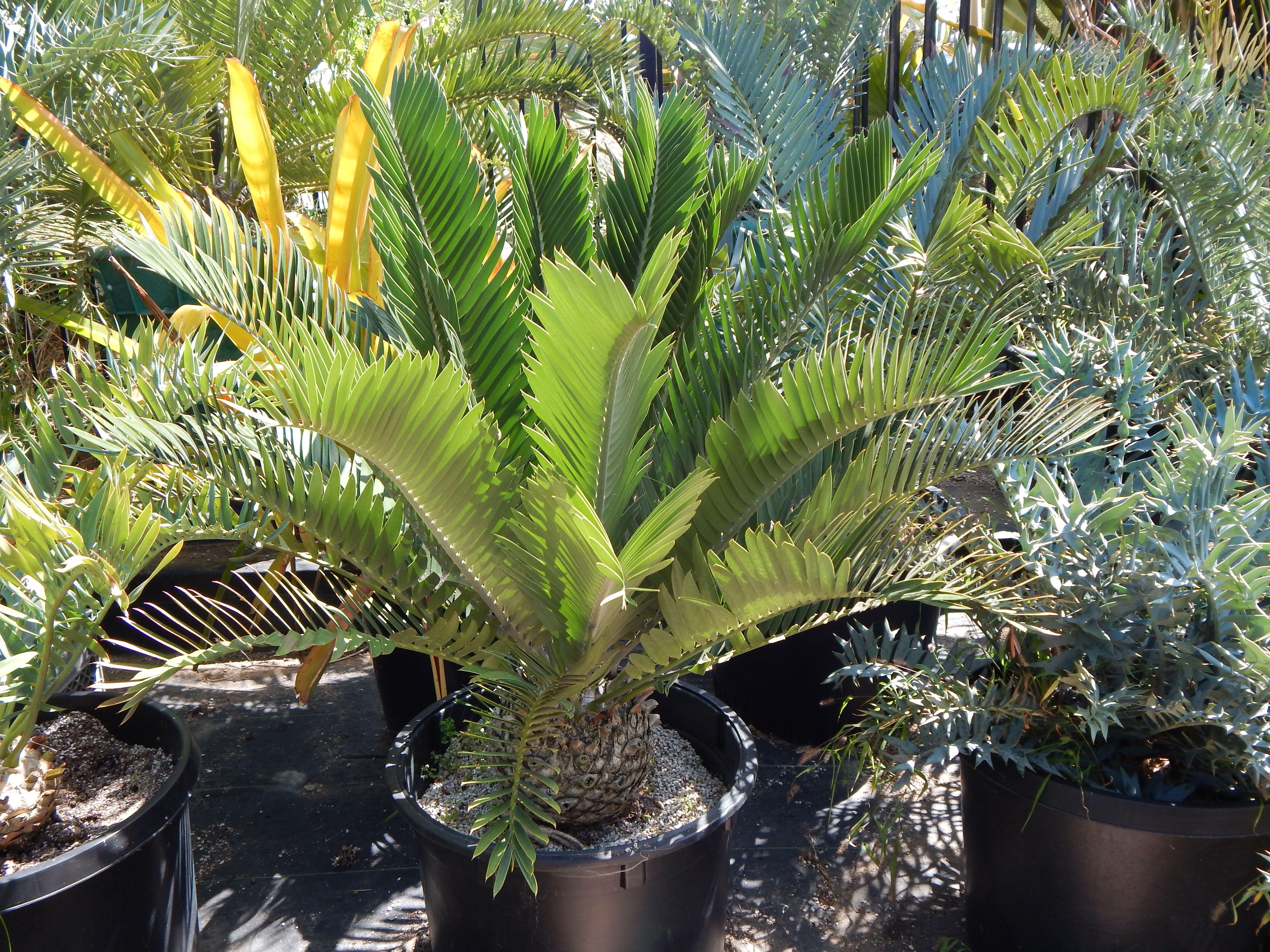 Encephalartos Longifolius Tropical Plants Plants Plant Sale