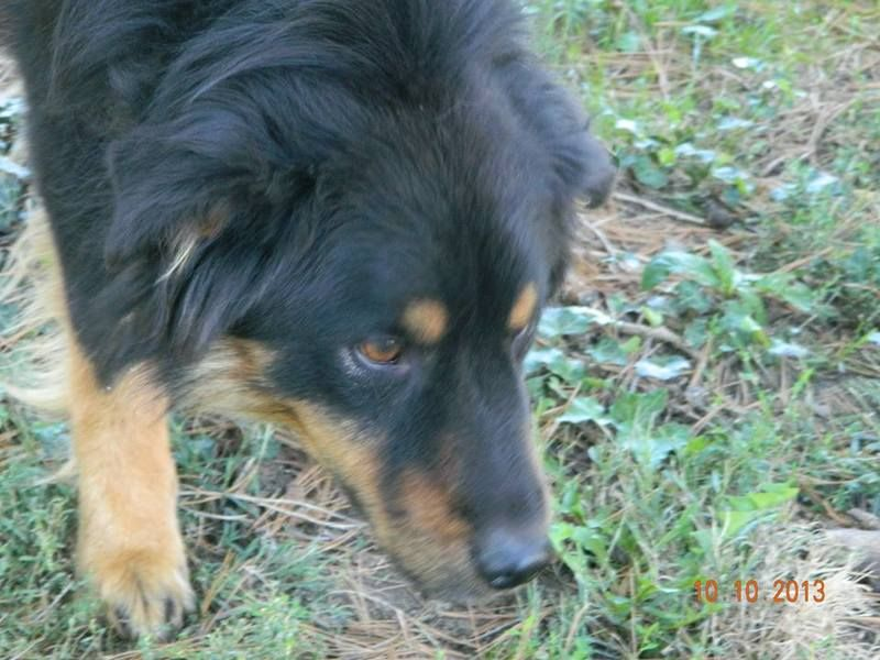 Adopt Winchester On Australian Shepherd Dogs Animal Rescue Australian Shepherd