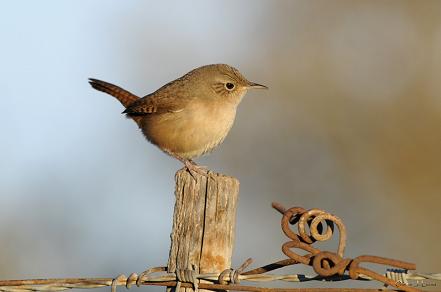 Ratucha Ratona O Ratonera Aves Aves De Chile Pajaros Silvestres