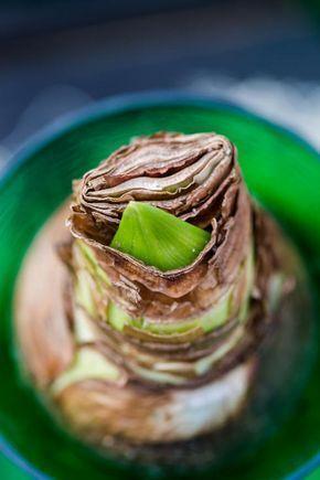 amaryllis die richtige pflege zimmerpflanzen pinterest amaryllis garten und pflanzen. Black Bedroom Furniture Sets. Home Design Ideas