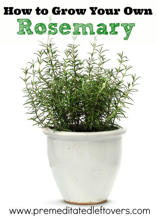 How To Grow Rosemary Including How To Plant Rosemary Seedlings How To Grow Rosemary In Containers H Growing Rosemary Growing Rosemary Indoors Planting Herbs