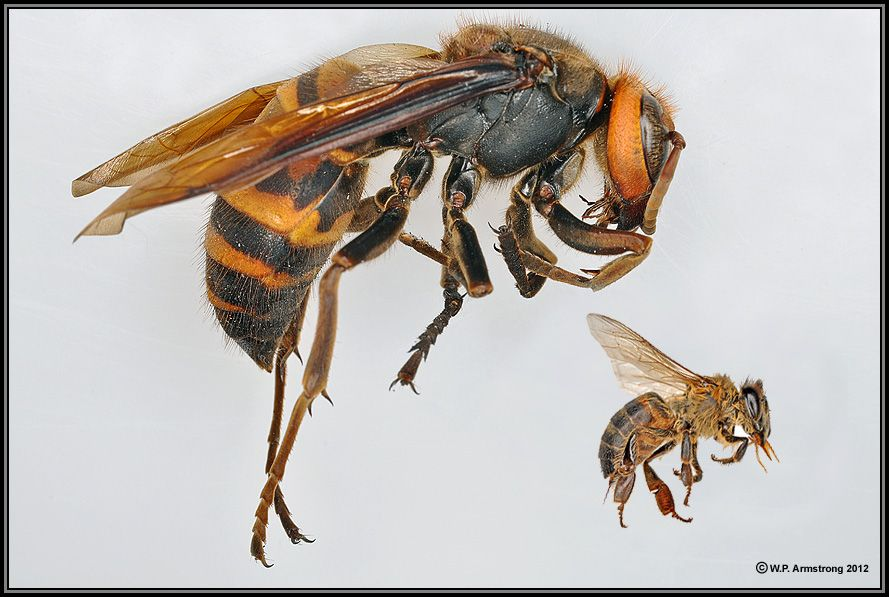 Size Comparison Between The Honey Bee And The Japanese Giant